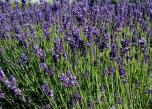 Lavandula-angustifolia-flowering